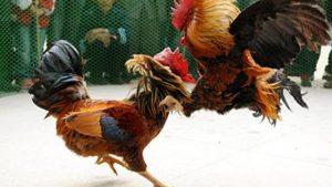 Tata Cara Deposit Dan Withdraw Judi Sabung Ayam